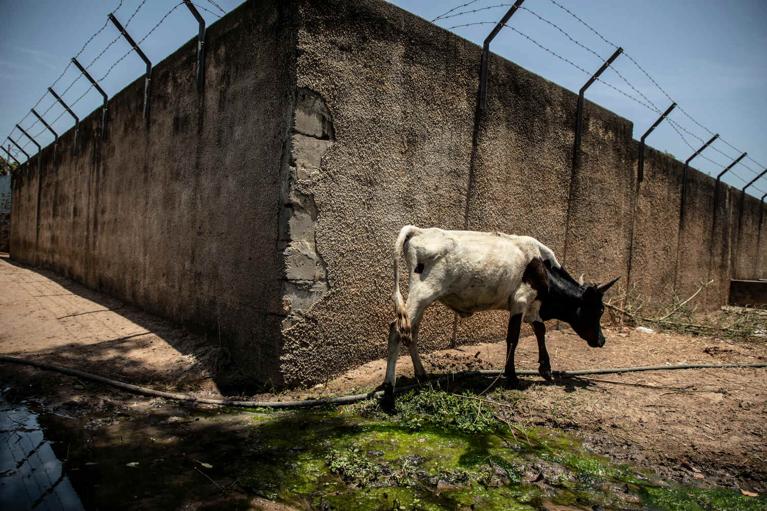 A cow grazes outside a NAWEC borehole which will soon be supplying water.