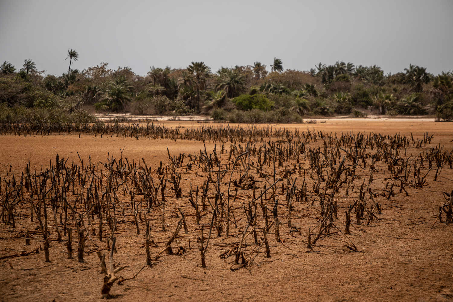 Soluble iron deposits discolour the surface of the ground in a mangrove forest near the village of Tanji in The Gambia's west coast region.